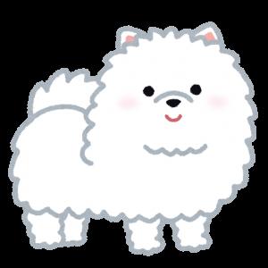dog_pomeranian_white